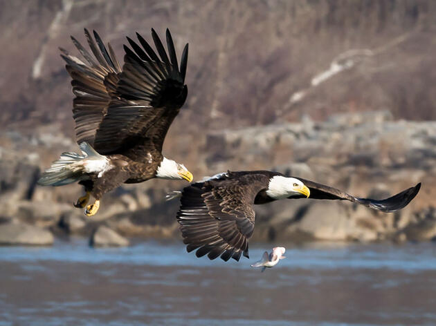 High Stakes for Birds and People at Confirmation Hearing for David Bernhardt