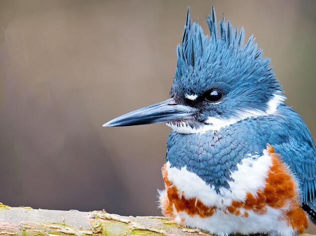 Belted Kingfisher. Brian Kushner/Audubon Photography Awards