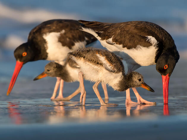 American Oystercatchers and young. Jesse Gordon/Audubon Photography Awards