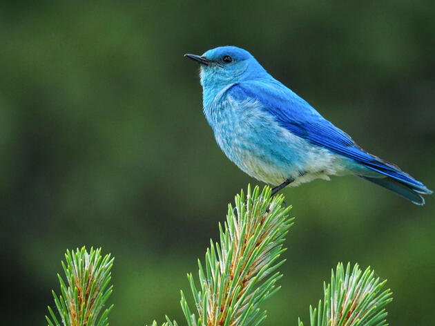 Mountain Bluebird. Trevor Roche/Audubon Photography Awards