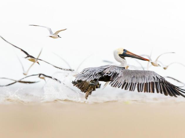 Brown Pelican. Pamela Underhill-Karaz/Audubon Photography Awards