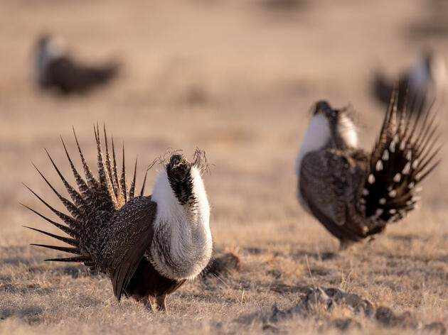 """Audubon: New Sage-Grouse Review Plan is """"Nothing More Than Window-Dressing"""""""