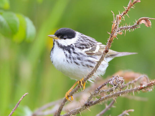 How Scientists Learned About The Blackpoll Warbler's Epic Migration