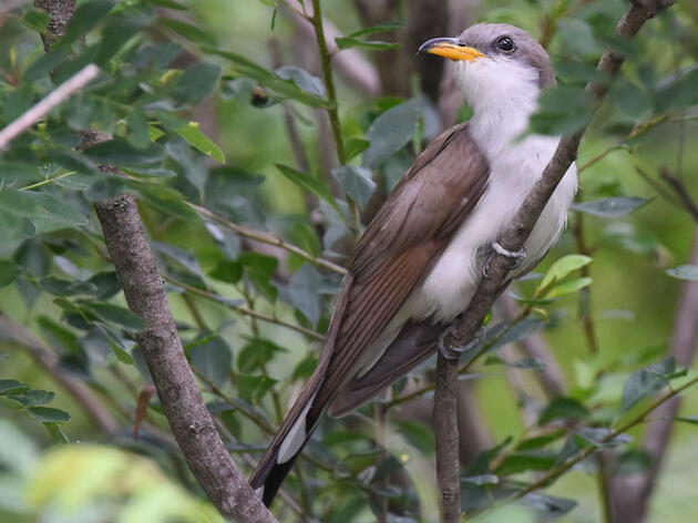 Yellow-billed Cuckoo. Andy Reago & Chrissy McClarren/Flickr (CC BY 2.0)