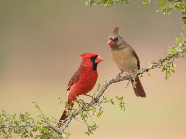 Northern Cardinals. Carole Wiley/Audubon Photography Awards