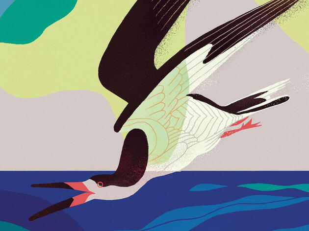 Reimagining the Black Skimmer