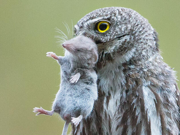 Why You Shouldn't Feed or Bait Owls
