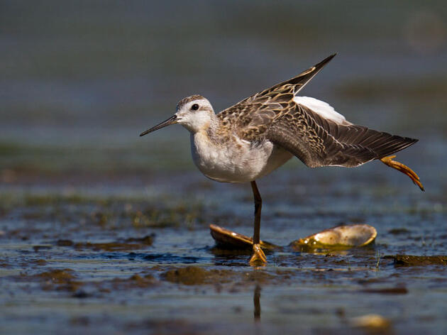 Potential New Ways to Determine the Movement of Phalaropes