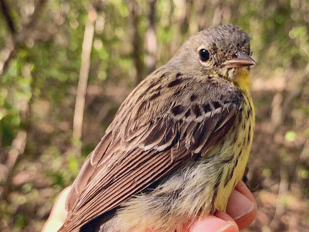 Endangered Kirtland's Warbler Makes Unexpected Debut in Jamaica