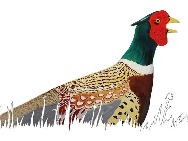 Unwelcome by Some, the Ring-necked Pheasant Is an American Success Story
