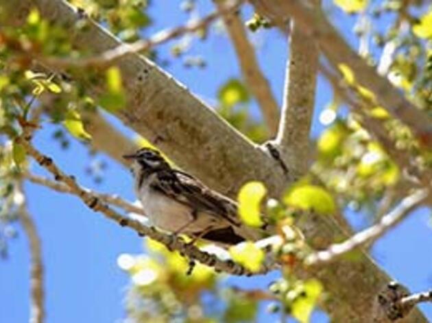 Lark Sparrow In A Cottonwood Tree. Lark Sparrow David Druker