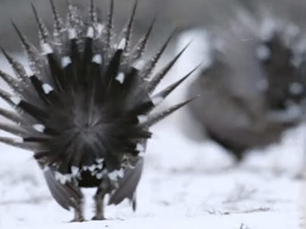 A Steppe Up for the Greater Sage-Grouse