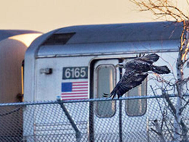 The New Normal: Bald Eagles in the Big City