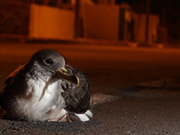 Saving Baby Seabirds From Crash Landings