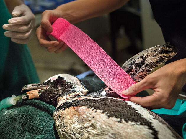 In Cape Town, a Dedicated Staff Gives African Penguins a Fighting Chance