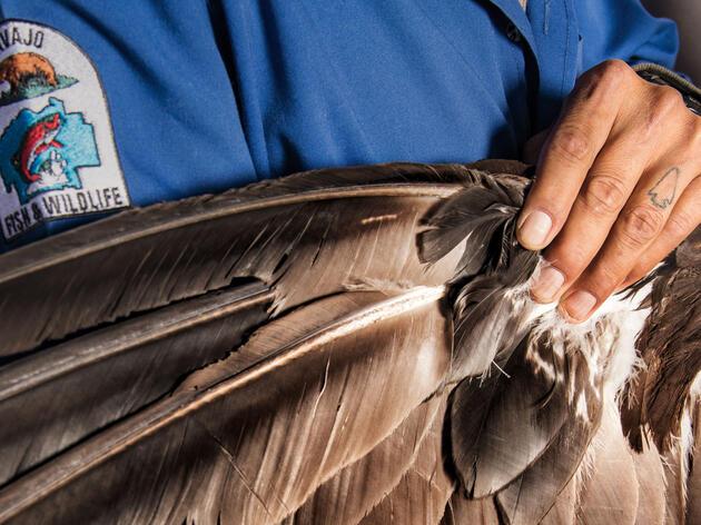 La demanda de los Nativos Americanos es lo que impulsa un mercado negro de plumas de águila