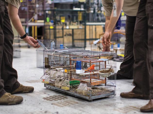 Conozca a la unidad encubierta contra la delincuencia que combate el mercado negro de aves de Miami