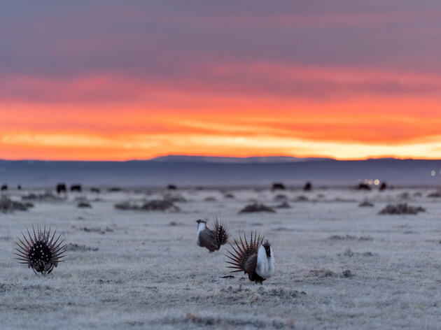 Judge Blocks Trump Administration Plans that Lifted Sage-Grouse Protections