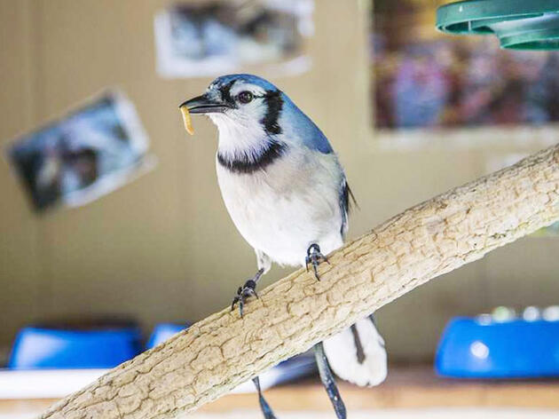 Mill Grove, Pennsylvania: Conrad the Blue Jay Webcam