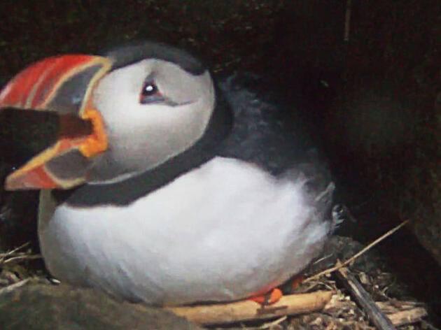 Seal Island, Maine: Atlantic Puffin Burrow Webcam