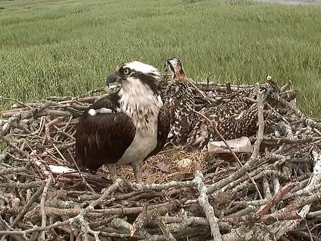 New Haven, Connecticut: Osprey Webcam