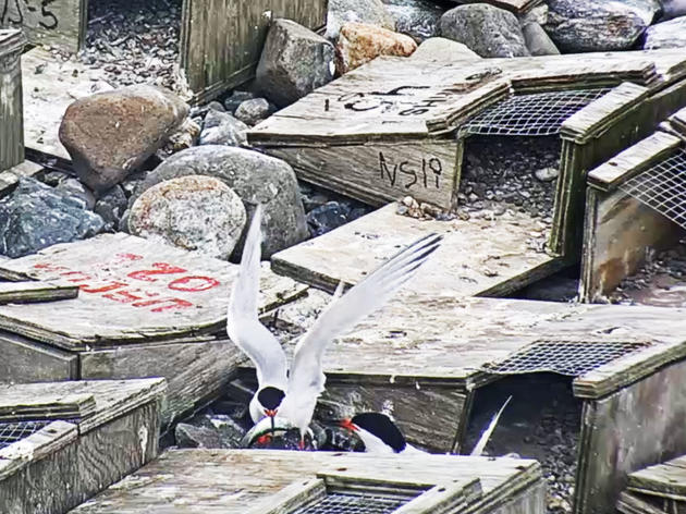 Falkner Island, Connecticut: Roseate Tern Webcam
