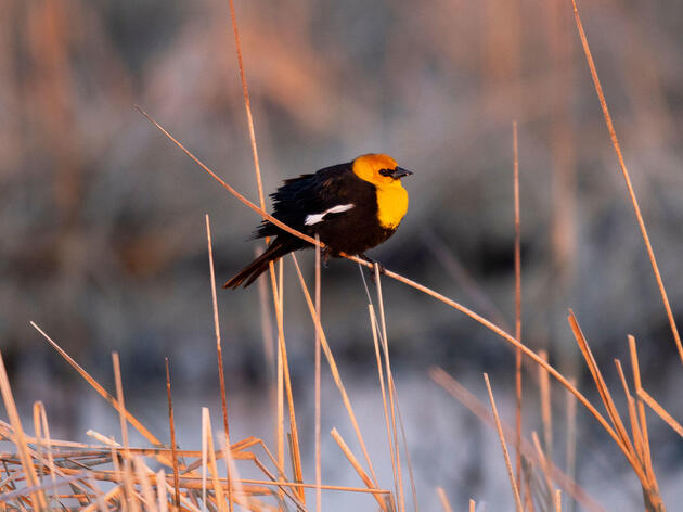 The State of North America's Grassland Birds