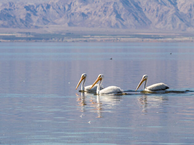 American White Pelicans in the Salton Sea. Charles Wollertz/Alamy