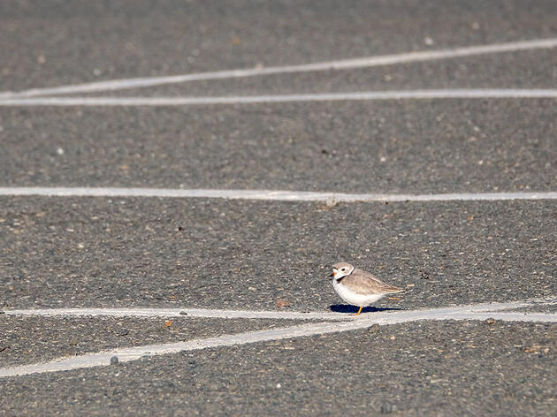 How Plover Chicks Born in a Parking Lot Spurred a City to Make Its Beach Safer