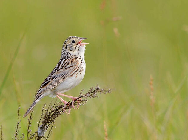 Audubon Report Identifies Priority Conservation Areas for Disappearing North American Grassland Birds
