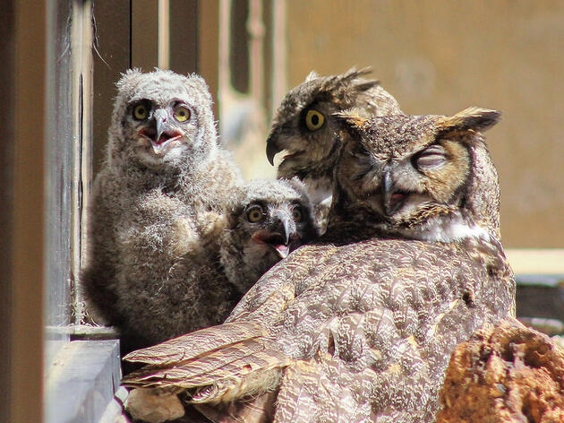 The Unprecedented Case of Co-Parenting Mama Owls