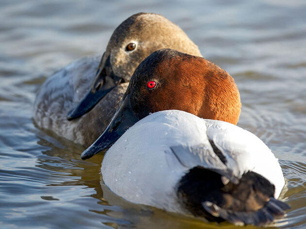 How to Tell a Canvasback from a Redhead