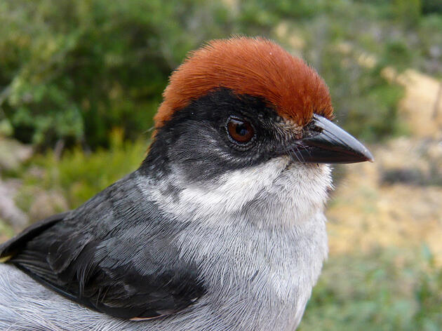 A Miraculous Discovery Near Medellín Yields Insight on a Mysterious Songbird