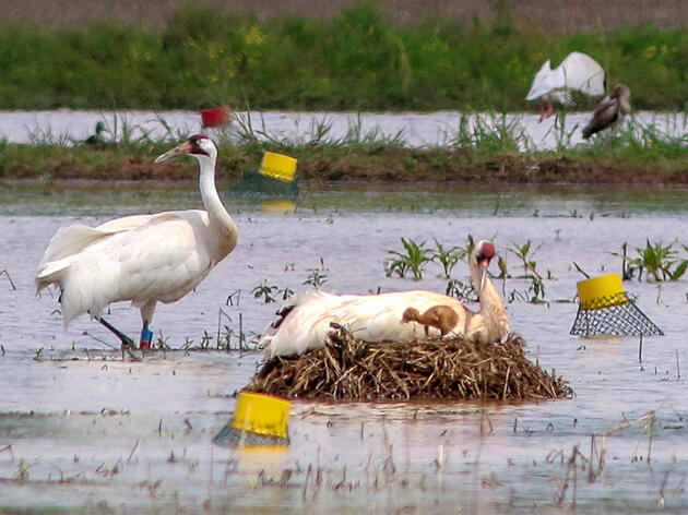 A Whooping Crane's Killer Got Off Easy, Frustrating Conservationists