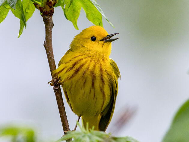 When Yellow Warblers Warn of Brood Parasites, Red-winged Blackbirds Listen