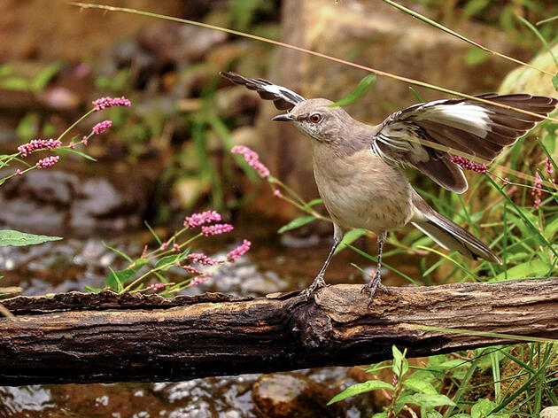 10 Fun Facts About the Northern Mockingbird