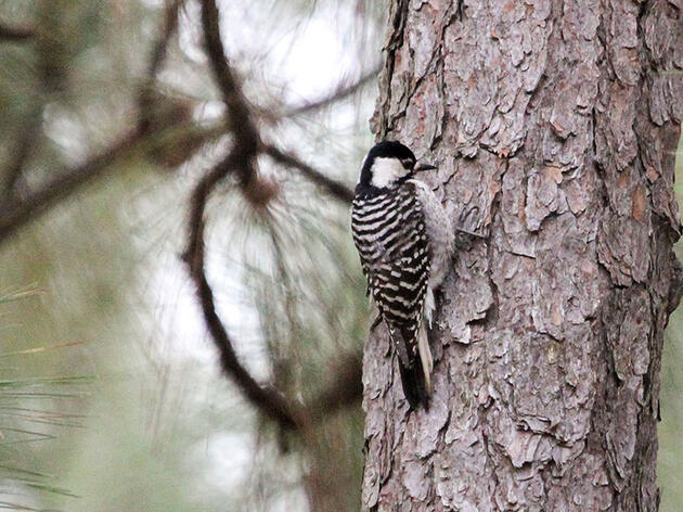 Baseball for the Birds: A New North Carolina Team Rallies Around an Endangered Species