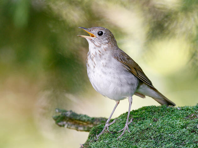 Which Birds Sing All Summer Long?