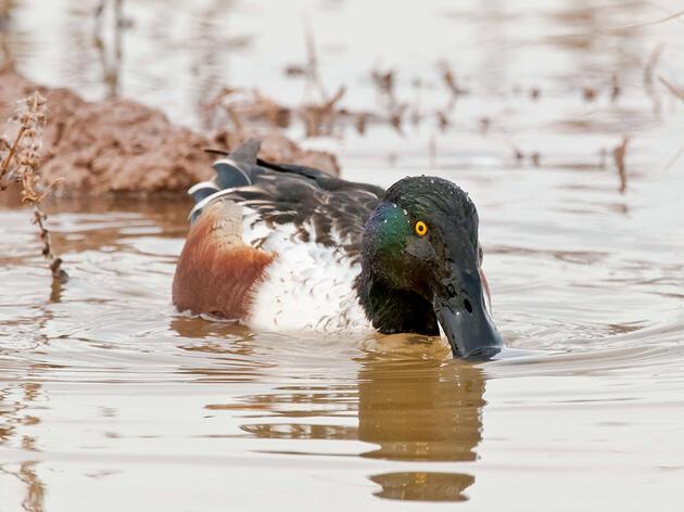 An Avian Cholera Outbreak at the Salton Sea Has Killed Thousands of Birds
