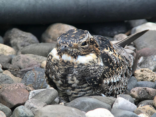 The Common Nighthawk Is the Cool City Bird You've Been Missing
