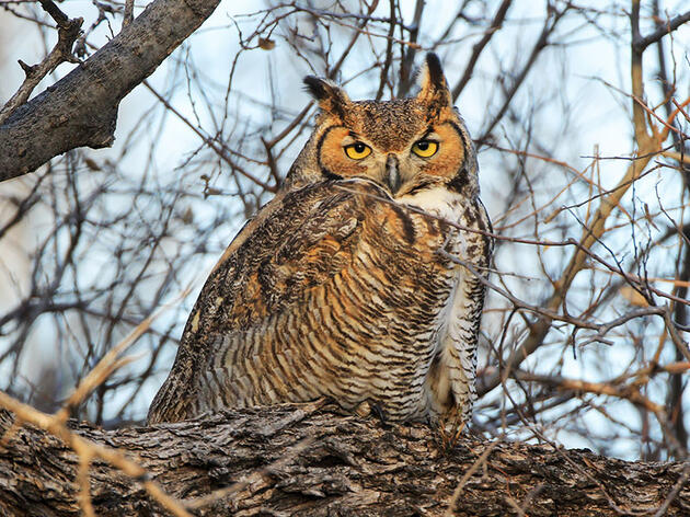 Why Great Horned Owls Start Nesting in the Winter