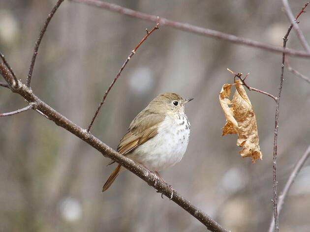 118th Christmas Bird Count: Canada Summary