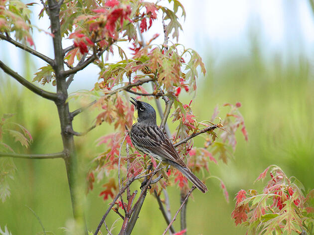 How Makeshift Stereos Could Help an Endangered Warbler Find a New Home