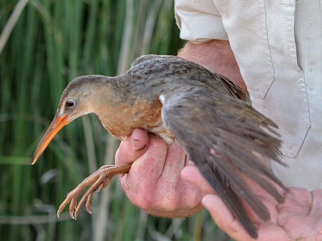 What It's Like to Catch and Band a Yuma Ridgway's Rail