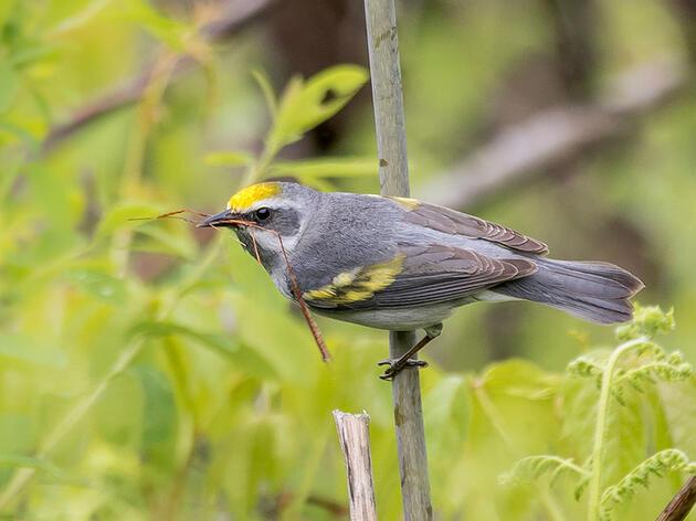 Cuando se ignora a las aves hembras, la conservación sufre