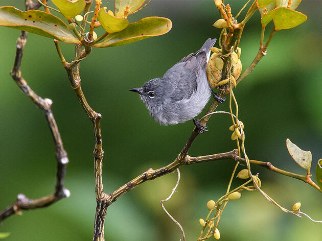 Borneo's Elusive Spectacled Flowerpecker Is No Longer a Mystery