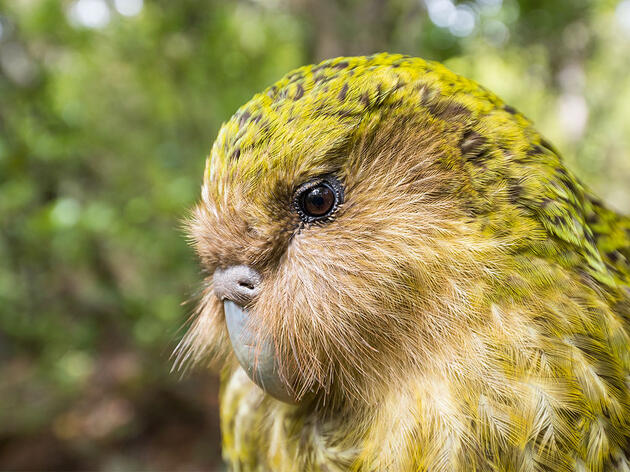 Fat, Flightless, and Funny, Kākāpō Make the Internet a Much Better Place