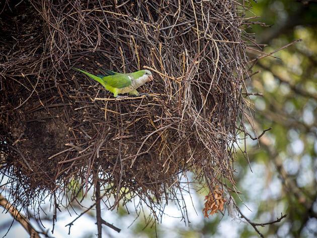 Aumentan las colonias de loros exóticos en todo el país