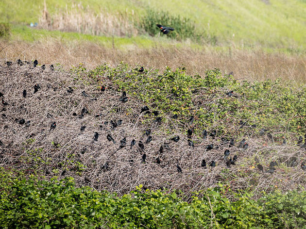 Better Know a Bird: The Massive, Fickle Breeding Colonies of Tricolored Blackbirds