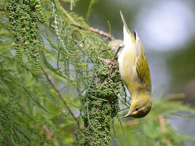 How to Recognize Six Warblers in Their Fall Feathers